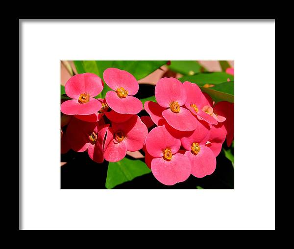 Crown Of Thorns Framed Print featuring the photograph Crown Of Thorns by Zina Stromberg
