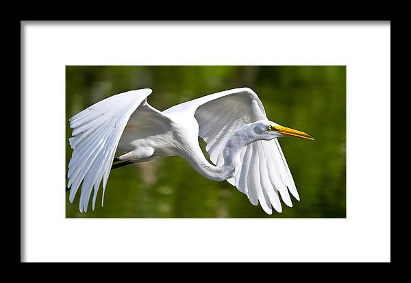 Action Framed Print featuring the photograph Cruising Egret by Andres Leon