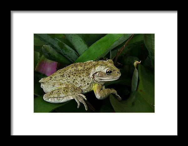 Animal Photography Framed Print featuring the photograph Cuban Tree Frog And Bromeliad. by Chris Kusik