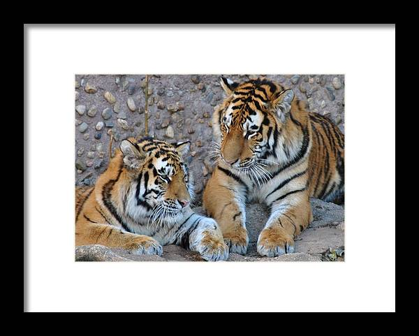 Denver Zoo Framed Print featuring the photograph Cubs by Paulina Roybal
