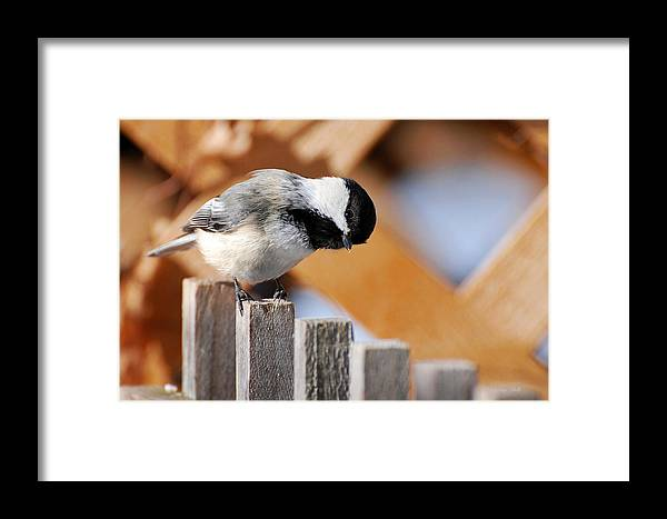 Bird Framed Print featuring the photograph Curious Chickadee by Christina Rollo