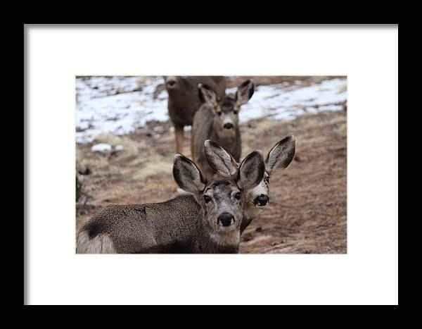 Mule Deer Framed Print featuring the photograph Curious by Peggy Beck