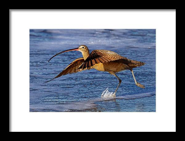 Curlew Framed Print featuring the photograph Curlew Preparing For Take Off by Julie Chen