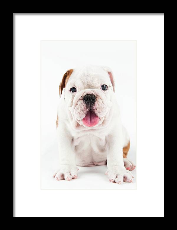 Pets Framed Print featuring the photograph Cute Bulldog Puppy On White Background by Peter M. Fisher