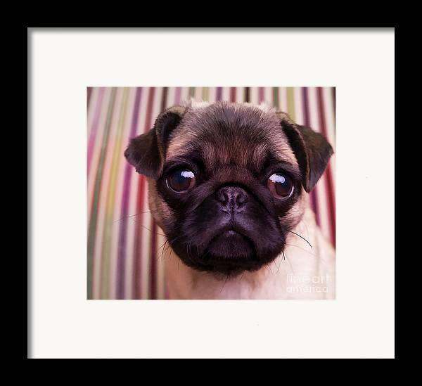 Pug Puppy Cute Dog Breed Portrait Pet Animal Toy Lap Framed Print featuring the photograph Cute Pug Puppy by Edward Fielding