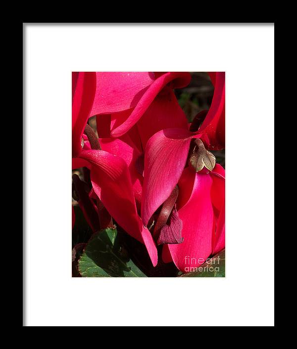 Flowers Framed Print featuring the photograph Cyclamen by Kathy McClure