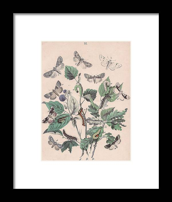 Butterfly Framed Print featuring the drawing Cymatophoridae - Acronyctidae by W Kirby