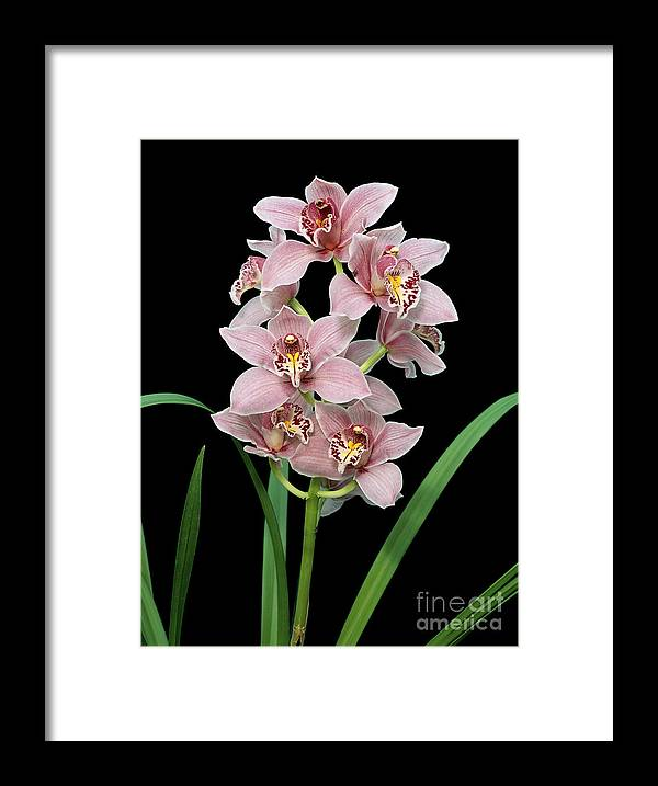 Cymbidium Lillian Stewart 'ste Sherrie' Framed Print featuring the photograph Cymbidium Lillian Stewart 'ste Sherrie'. by Geoff Kidd