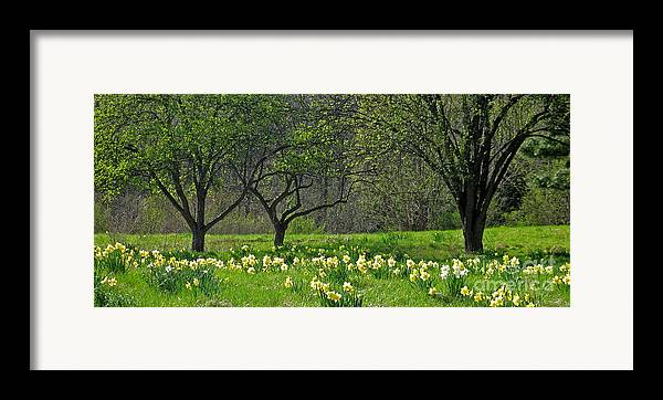 Spring Framed Print featuring the photograph Daffodil Meadow by Ann Horn