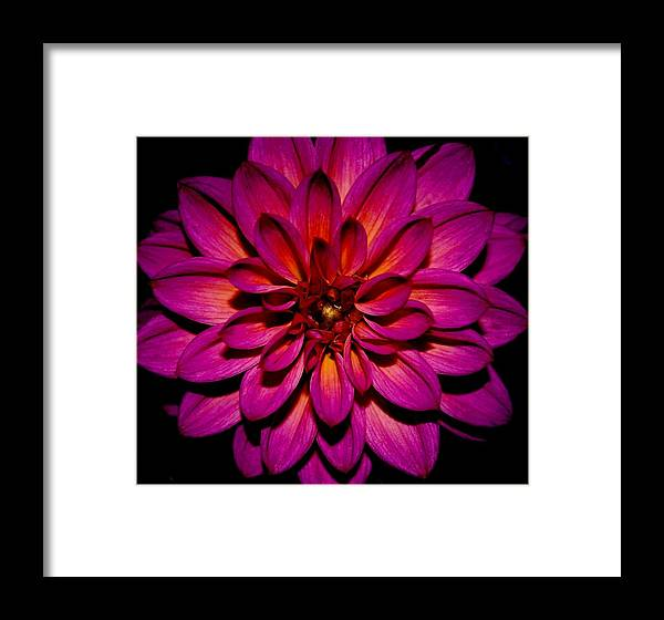 Dahlia Framed Print featuring the photograph Dahlia Explosion by Neely Thomas