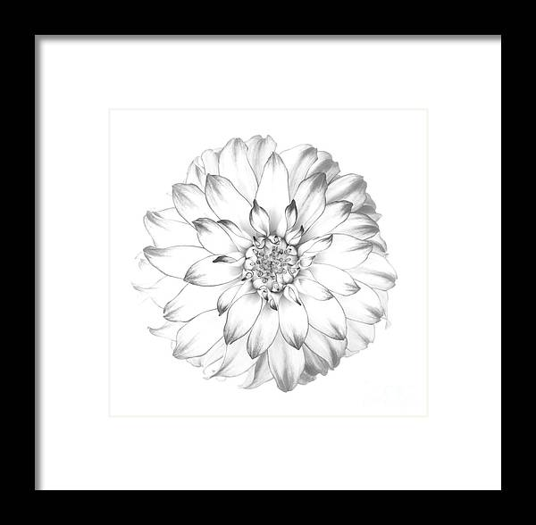 Dahlia Framed Print featuring the photograph Dahlia Flower As Drawing In Black And White. by Rosemary Calvert