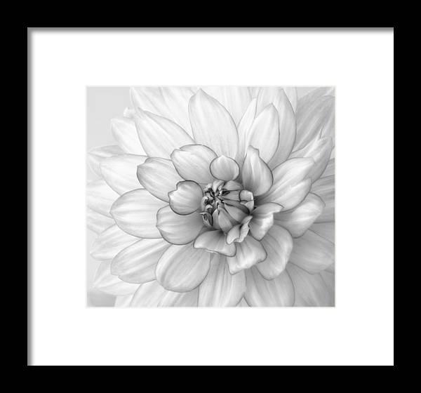 Dahlia Framed Print featuring the photograph Dahlia Flower Black And White by Kim Hojnacki