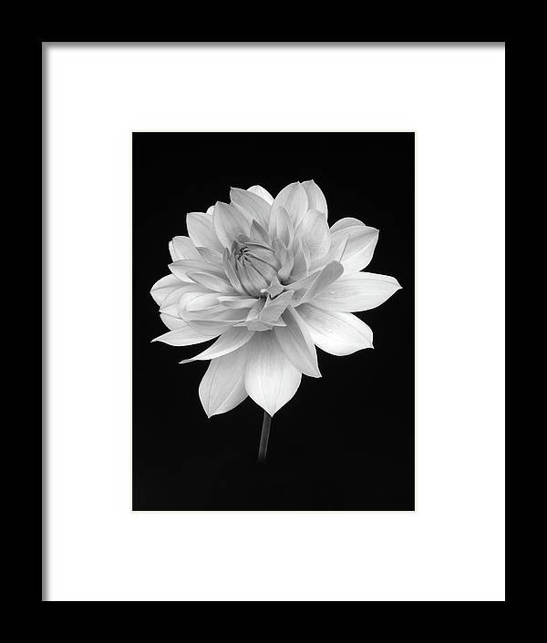 Haslemere Framed Print featuring the photograph Dahlia In Gentle Shades Of Grey by Rosemary Calvert