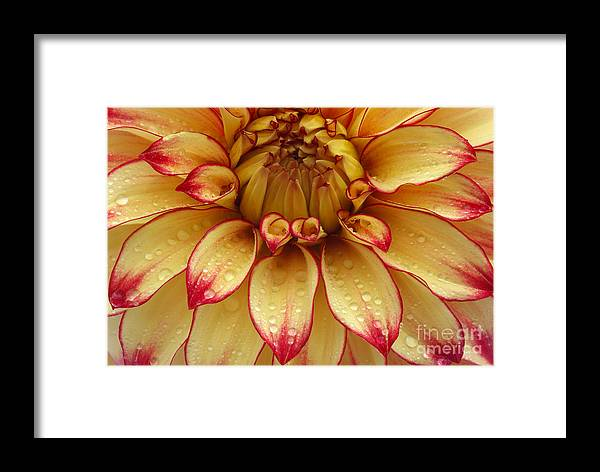 Dahlia Framed Print featuring the photograph Dahlia Lady Darlene In Close Up by Rosemary Calvert