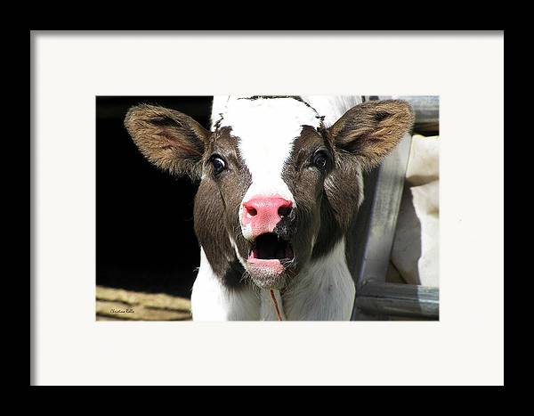 Cow Framed Print featuring the photograph Dairy Cow by Christina Rollo
