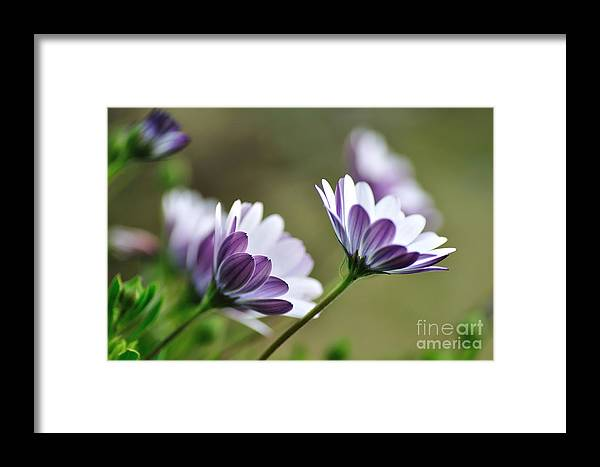 Photography Framed Print featuring the photograph Daisies Seeking The Sunlight by Kaye Menner