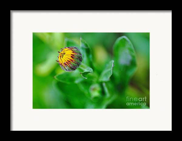 Photography Framed Print featuring the photograph Daisy Bud Ready To Bloom by Kaye Menner