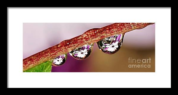 Photography Framed Print featuring the photograph Daisy Droplets by Kaye Menner