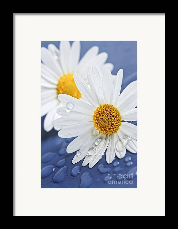 Flower Framed Print featuring the photograph Daisy Flowers With Water Drops by Elena Elisseeva