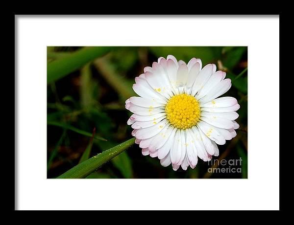 Daisy Framed Print featuring the photograph Daisy Sun by Kelly Lees