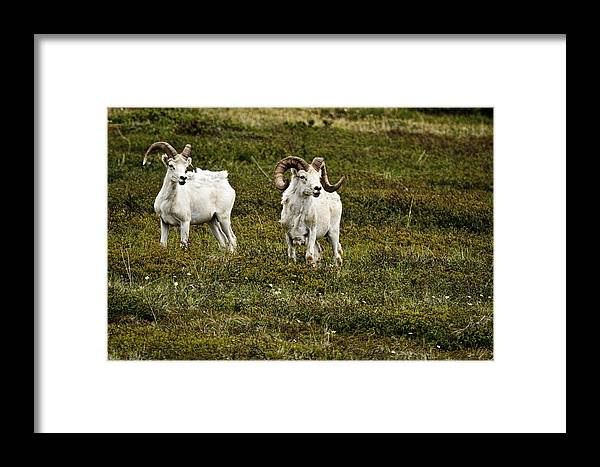 Dall Rams On Alert Framed Print featuring the photograph Dall Rams On Alert by Wes and Dotty Weber