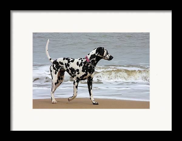 Dalmatian By The Sea Framed Print featuring the photograph Dalmatian By The Sea by Gordon Auld