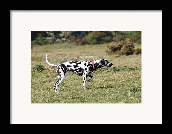 Dalmatian Pretending To Be A Pointer Framed Print featuring the photograph Dalmation Pretending To Be A Pointer by Gordon Auld