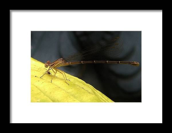 Macrophotography Framed Print featuring the photograph Damselfly With Gnat On Hosta Leaf by Rory Cubel