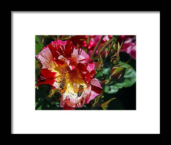Bee Framed Print featuring the photograph Dancing Bees And Wild Roses by Absinthe Art By Michelle LeAnn Scott