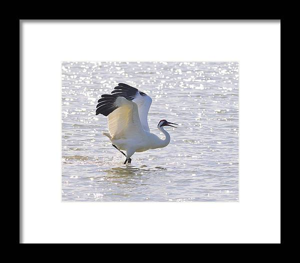 Whooping Crane Framed Print featuring the photograph Dancing For My Lady by Tony Beck