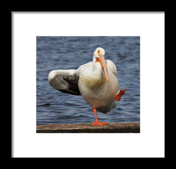 Pelican Framed Print featuring the photograph Dancing The Funky Chicken by Shane Bechler