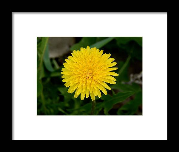 Dandelion Framed Print featuring the digital art Dandelion Beauty by Aliceann Carlton
