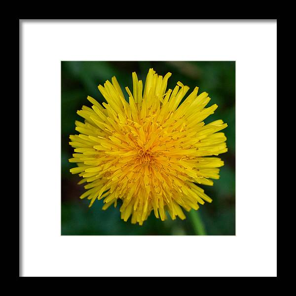 Finland Framed Print featuring the photograph Dandelion by Jouko Lehto