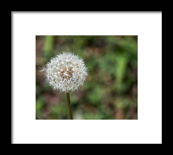 Dandelion Framed Print featuring the photograph Dandelion by Terry Thomas
