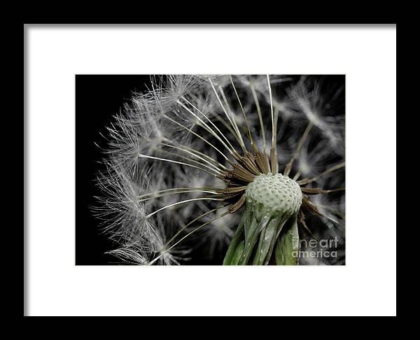Dandilion Framed Print featuring the photograph Dandilion by Matthew Trudeau