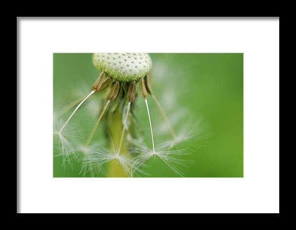 Flower Framed Print featuring the photograph Dandy Hold-overs by Arthur Fix
