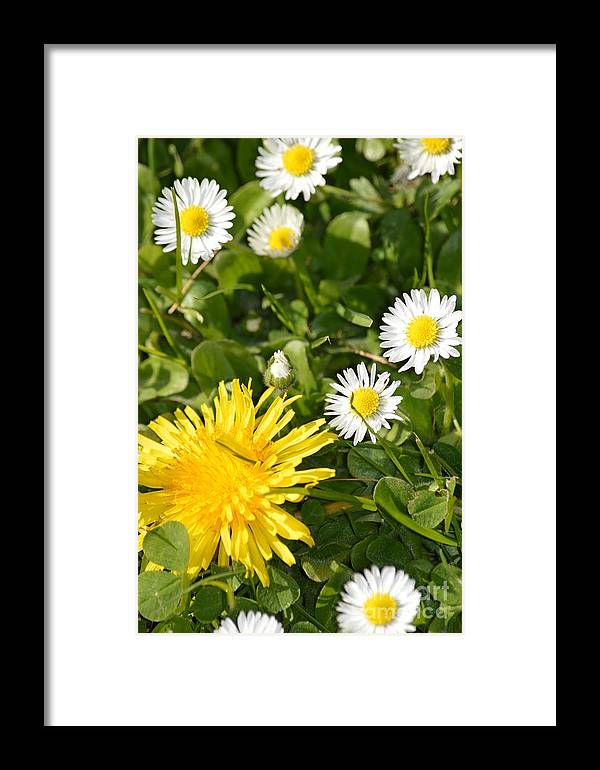 Landscape Framed Print featuring the photograph Dandy With The Daisies by Jan Noblitt