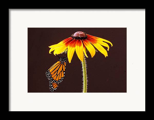 Animals Framed Print featuring the photograph Dangling Monarch by Jean Noren
