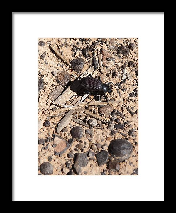 Canyon Framed Print featuring the photograph Darkling Beetle And Moqui Marbles by Gregory Scott