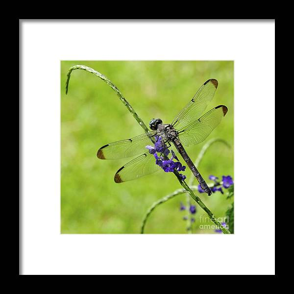 Darner Framed Print featuring the photograph Darner Dragon Fly by Jim Hennessey