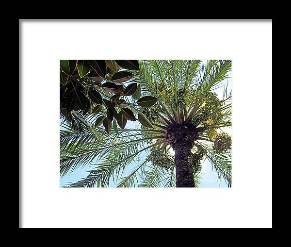 Date Framed Print featuring the photograph Date Palm And Rubber Tree Branch by Tina M Wenger