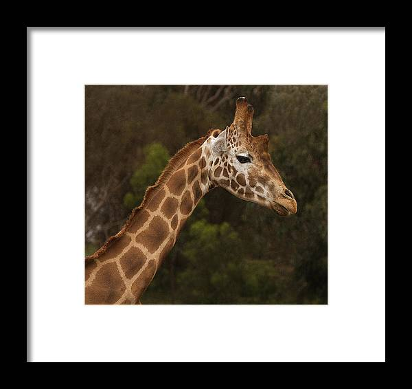 Giraffe Framed Print featuring the photograph Day Dreamer by Kim Andelkovic
