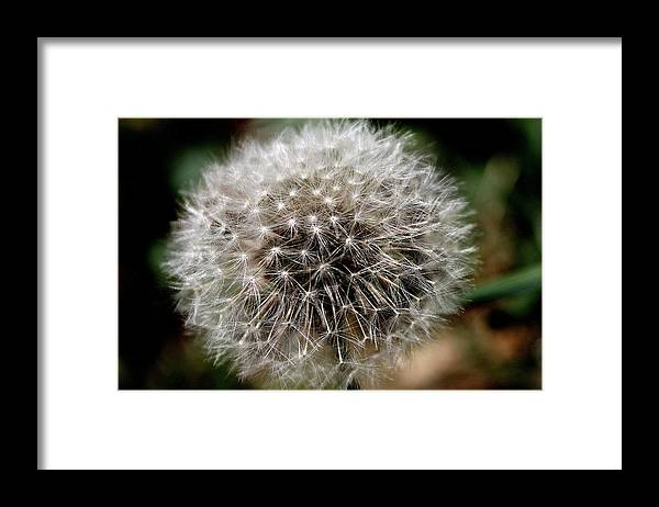 Dandelion Framed Print featuring the photograph Death's Beauty by Candice Trimble