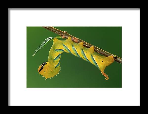 Fn Framed Print featuring the photograph Deaths Head Hawk Moth by Ingo Arndt