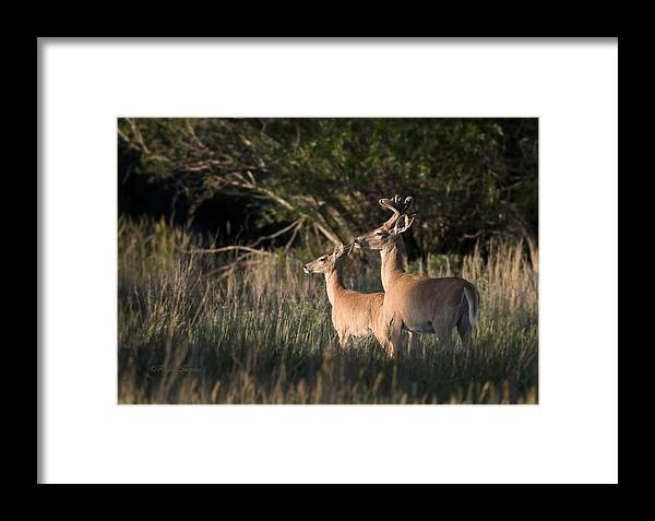 Beautiful Framed Print featuring the photograph Deer By Belfry Montana by Roger Snyder