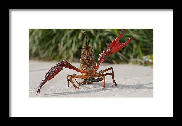 Crawfish Framed Print featuring the photograph Defiant Crawfish by Kimo Fernandez