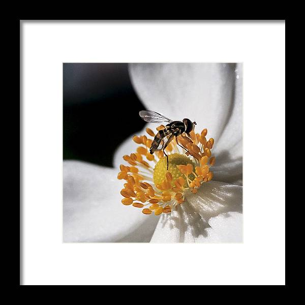 Hoverfly Framed Print featuring the photograph Delicate by Caitlyn Grasso