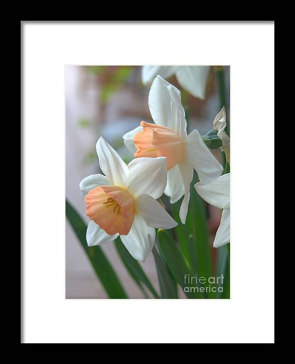 Diana Graves Photography Framed Print featuring the photograph Delicate Daffodils by K D Graves