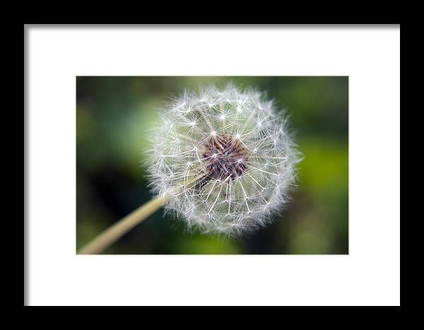 Dandelion Framed Print featuring the photograph Delicate Dandelion by Tammy Harriss