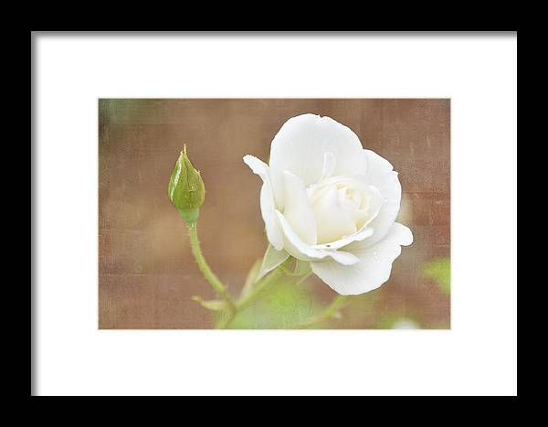 Floral.roses Framed Print featuring the photograph Delicate White by Jan Amiss Photography